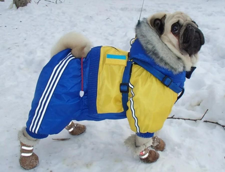 Животных декоративных пород в ненастье не выгуливают, а в морозную и сырую погоду одевают.